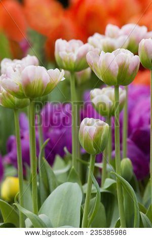 Close-up Pink-green Tulips In A Beautiful City Field. Bulbous Field Pink Tulips Bright Flowers. Pink