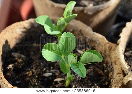 Sprouted Peas In Organic Soil And Peat Pot. Germinated Pea Green Sprouts. Organic Pea Sprouts Seedli