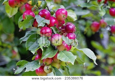 Red Apples Tree Brach. Fresh Organic Apples Tree Branch In The Orchard. Harvest Season Concept With
