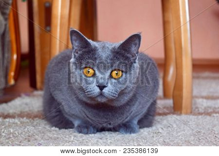 British Cat. Portrait Of British Cat With Big Yellow Eyes. View Of Domestic British Cat Looking On C