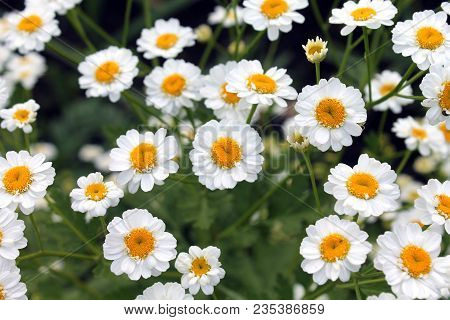 Chamomile Close Up. White Flowers Of German Chamomile Daisy. Chamomile Medicinal Plant On A Sunny Da