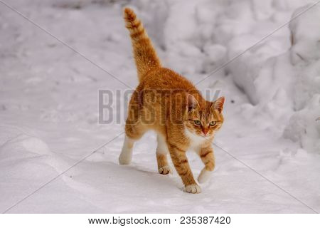Cat In Snow On Winter Walk. Beautiful Ginger Cat On Snow Winter Background. Winter Portrait Of Red C