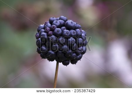 Deep Blue And Glossy Berries Of The Wild Privet Or Ligustrum In Autumn. Berries Of The Common Privet