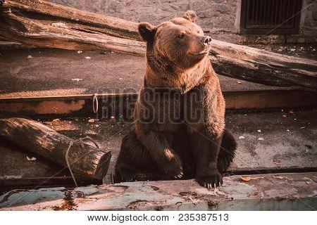 A Brown Bear (ursus Arctos) Sits In Zoo. Big Brown Bear Sitting On Wooden Floor. Brown Bear Sitting