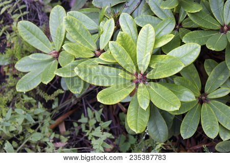 Big Azalea Leaves Or Rhododendron In Winter Garden. Green Azaleas Bush (rhododendron). Colorful Rhod