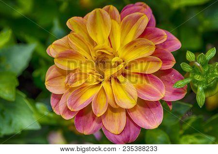 Beautiful Pink Blooming Dahlia With Green Background. Pink Dahlia Is Genus Of Flowering Pink Dahlia