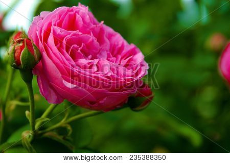Romantic Pink Rose As Invitation Card. Floral Background Of Invitation Card Soft Selective Focus On