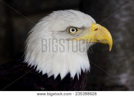 Bald Eagle Against Dark Background. Portrait Of A Bald Eagle (haliaeetus Leucocephalus). American Ba