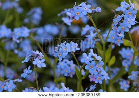 Blue Little Flowers - Forget-me-not Close-up And Green Leaves Background Texture. Meadow Wild Plant