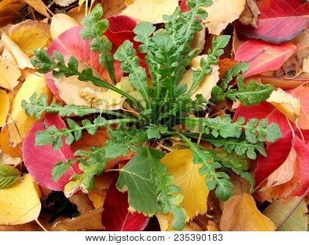 Green Plant On Autumn Fall Orange Red Leaf Background. Early Colorful Autumn Green Plant And Golden