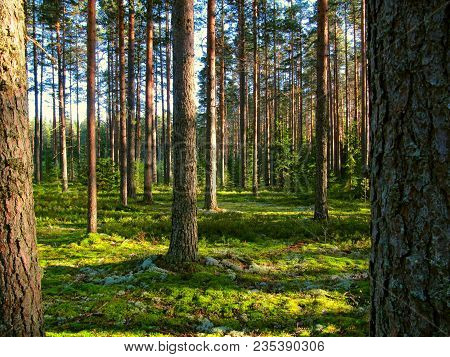 Sunny Summer Pine Forest With Detail Of Tree Trunk Bark. Close Up Coniferous Park With Reindeer Moss