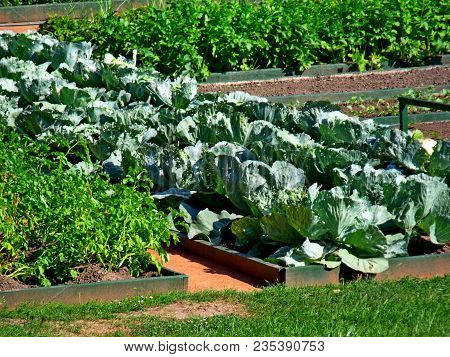 Vegetable Garden Beds. Raised Bed Cabbage Tomato Salad Lettuce Vegetable Garden Container In Spring.