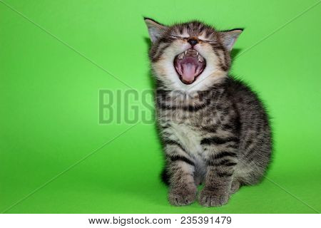 Tabby Kitten - Little Cat Open Mouth Sitting On Green Background. Cute Curious Baby Tabby Kitty With