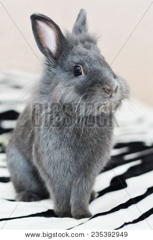 Gray Bunny Fluffy Rabbit Baby Sitting On Carpet. Portrait Of Cute Domestic Rabbit Cub On Sofa At Hom