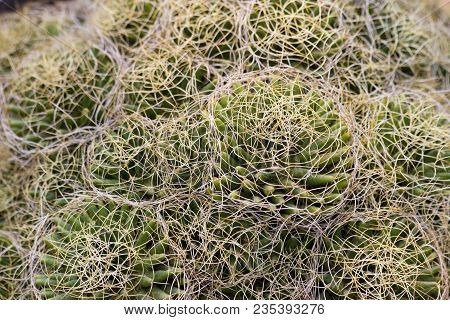 Aloe Cactus Succulent Plant Hairy Background. Macro Of Succulent Pattern. Close Up Of Circle Cactus