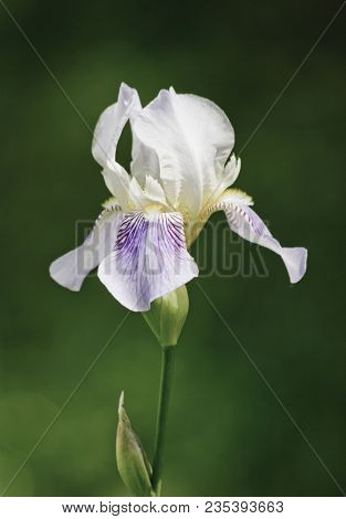 Close-up Of A Flower Of Bearded Iris (iris Germanica) On Blurred Green Natural Background. Iridarius