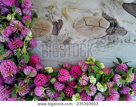 Clover Flower Pink Border Frame On Knotted Wooden Background. Medicinal Herb Clover Flowers On Rotte