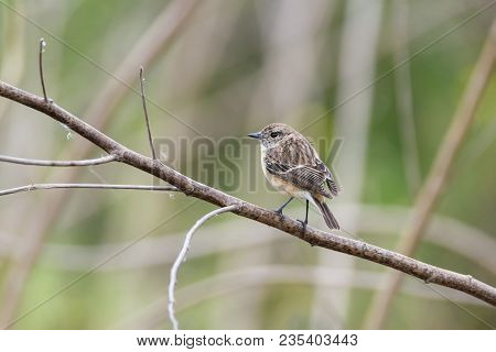 Cute Little Female Siberian Stonechat Or Asian Stonechat Perching On Tree Branch , Thailand