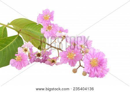Beautiful Pink Flower Bouquet (lythraceae) Isolated On Whte Background. This Has Clipping Path.