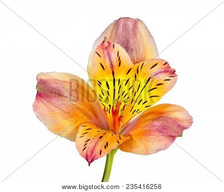 Single Beautiful Orange Yellow Alstroemeria Flower Isolated On White Background - Delicate Detail Of