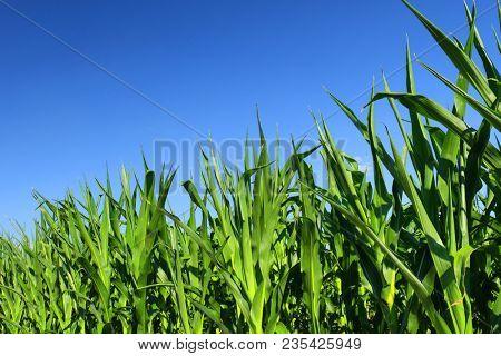 green fresh cornfield