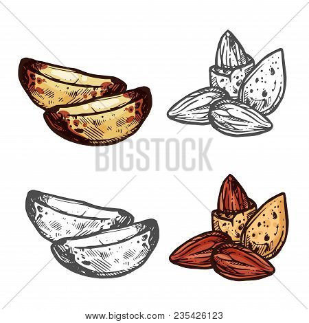 Fresh Nut Isolated Sketch Of Almond And Brazil Nut. Kernel And Seed Of Natural Nut With Shell Icon F