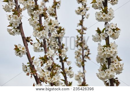 Cherry Blossom In Spring. White Beautiful Blooms.