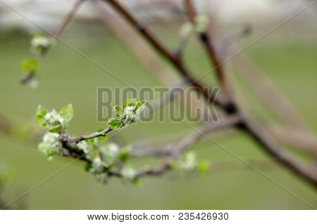 Little Green Young Leaves Of Apple Tree.
