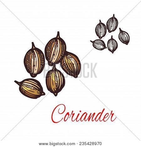 Coriander Seed Sketch Of Cilantro Spice. Dried Fruit Of Chinese Parsley Plant Isolated Icon For Spic