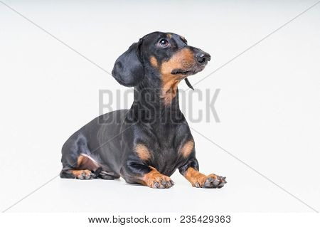 Adorable Dog Breed Dachshund, Black And Tan, Lying On Gray Background.
