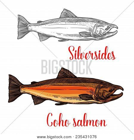 Coho Salmon Fish Isolated Sketch Of Marine Animal In Spawning Phase. Pacific Salmon With Bright Skin
