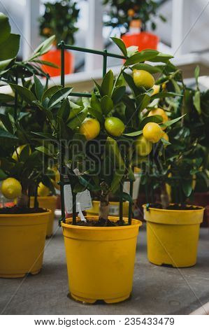Calamondin Is Called By Many Names, Including: Calamonding, Calamondin Orange, Calamansi, Calamandar