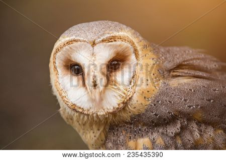 A beautiful barn owl, portrait with dark background.