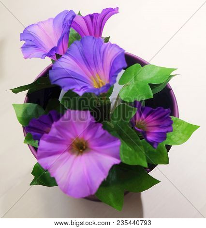 Purple Morning Glory Flowers With Green Leaves For Home And Building Decoration.