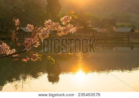 The Pink Cassia Or Pink Shower Flower With Sunlight In The Morning. And Mirror On The Pool