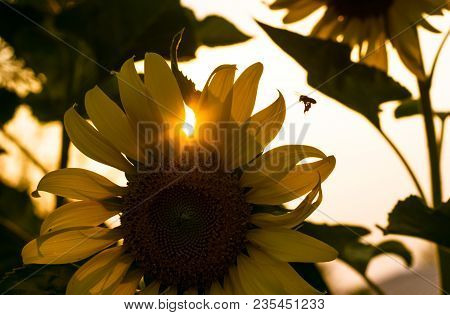 The Little Bee Going To Home Among Sun Flower Garden And The Sun
