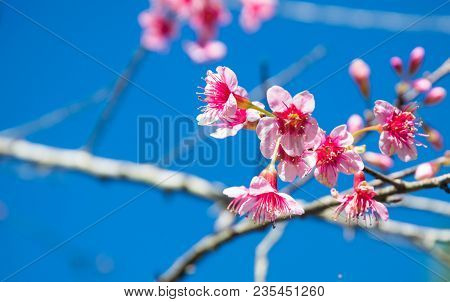 The Blurred Of Prunus Cerasoides Flower On Blue Sky Background. Pink Sakura Thailand