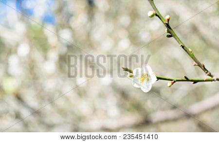 Chinese Plum Or Japanese Apricot, Beautiful White Flower On Apricot Garden Background.