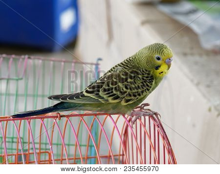 Yellow, Green, And Black Tame Budgerigar Or Parakeet Hold On Red Bird Cage Waiting To Be Pet In Anim