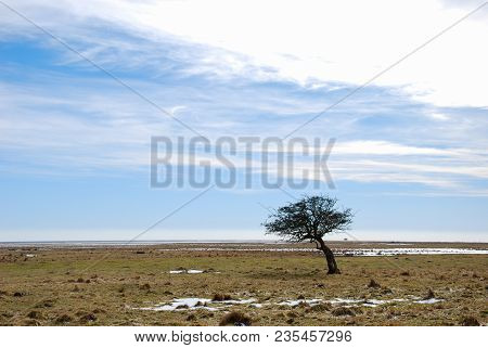 Windblown Tree By The Coast Of The Swedish Island Oland In The Baltic Sea