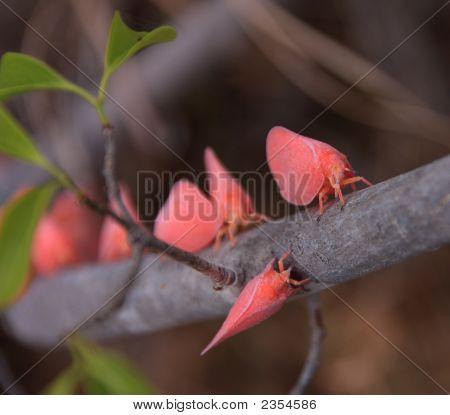 Flatid,Leaf,Bug,Pink,Adult