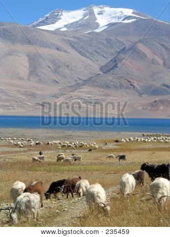 Goats And Mountains