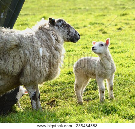 Sheep With Her Lamb, Inquisitive From Birth