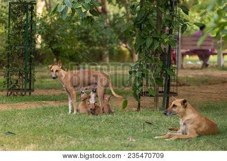 Skinny stray dog feeding her puppies in park in New Delhi, India