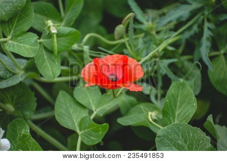Bright Red Flower With Large Petals Blooming Among Green Leaves In Spring.