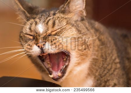 Older Cat Holding Its Mouth Open For A Moment, Looking Like It Could Be Yawning Or Meowing Loudly.