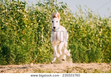 Fast Running Puppy Of Russian Wolfhound Hunting Sighthound Russkaya Psovaya Borzaya Dog Outdoors