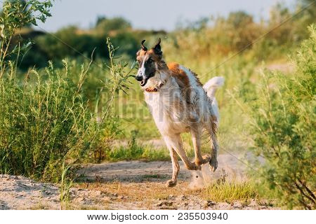Running Adult Russian Wolfhound Hunting Sighthound Russkaya Psovaya Borzaya Dog Outdoors In Sunny Su