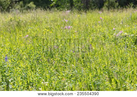 Sunlight Lights Up Green Grasses, Flowers, And Other Flora In Central Montana, Usa.