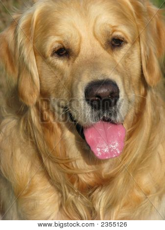 poster of Close up of a very handsome Golden Retrieveer dog